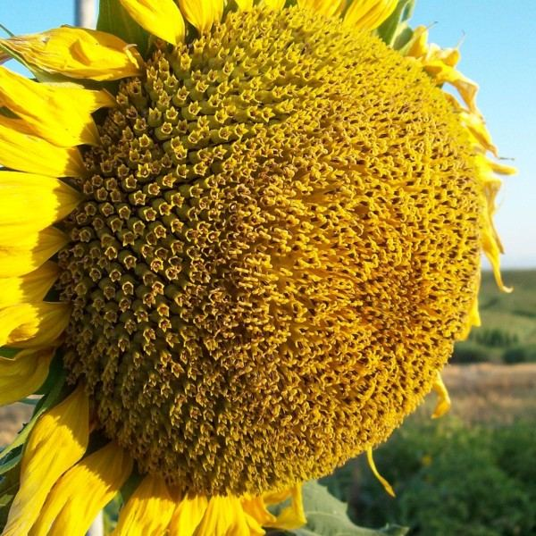 Семена подсолнечника Люкс (кондитерский)