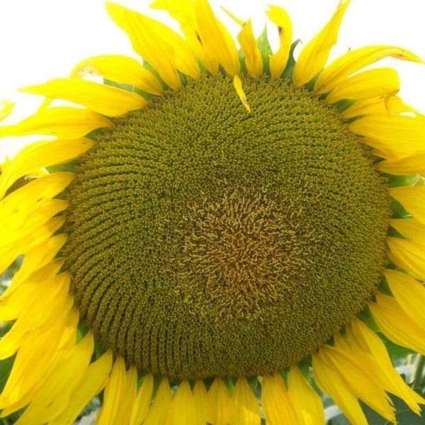 Семена подсолнечника Заграва
