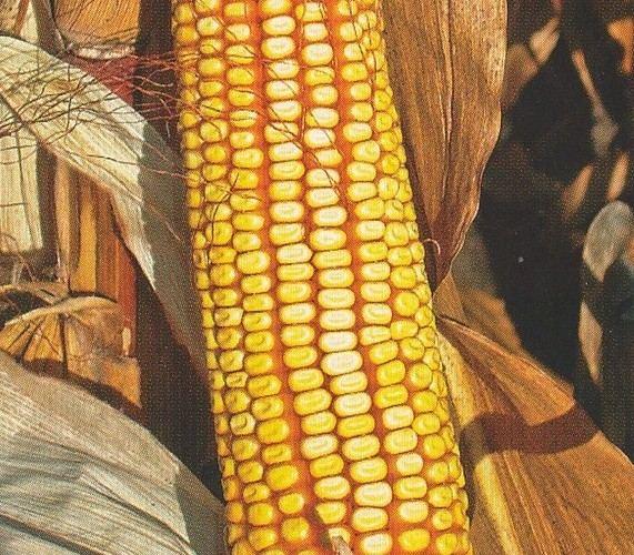 Насіння кукурудзи ВН 63