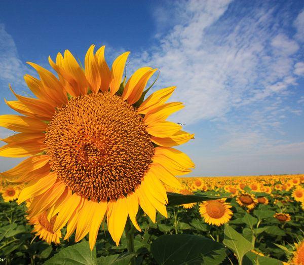 Семена подсолнечника Украинське сонечко