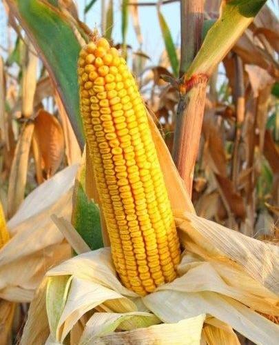 Семена кукурузы Тесла
