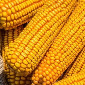 Семена кукурузы Берека