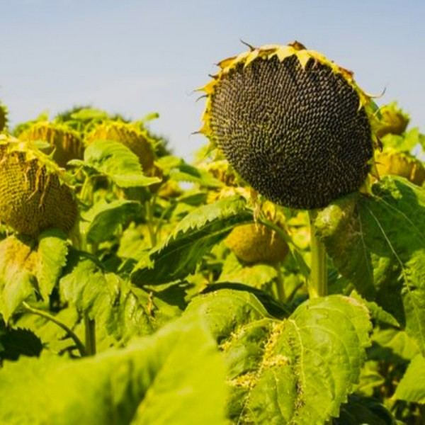 Семена подсолнечника Карлос 105 (Евролайтинг)