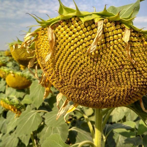 Семена подсолнечника НС Х 195 АДМИРАЛ  (Новинка )