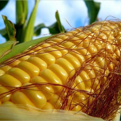 Семена кукурузы Кредит мв (Новинка )