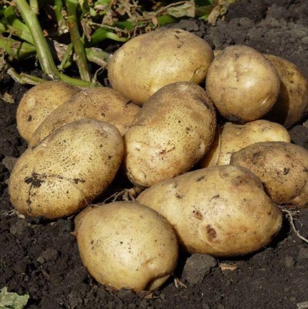 Семенной картофель Банба (Голландия)