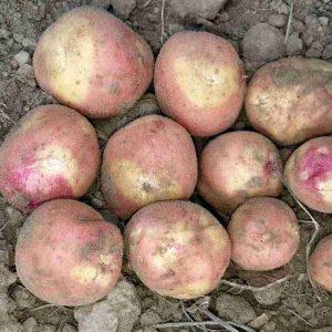 Семенной картофель Бикини (Голландская селекция ) 1 репродукция