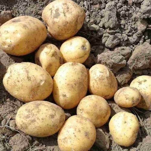 Семенной картофель Бюррен (Голландская селекция ) 1 репродукция