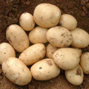 Семенной картофель Орла (Голландия) 1 репродукция