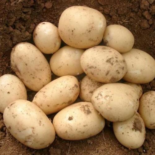 """Семенной картофель """"Орла"""" Голландия (1 репродукция)"""