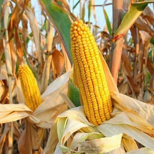 Семена кукурузы КИНЕМАС (KWS Germany)
