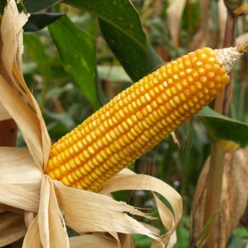 Семена кукурузы КВС 381 (KWS Germany)