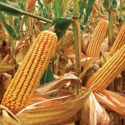Семена кукурузы КАРИФОЛС  (KWS Germany)