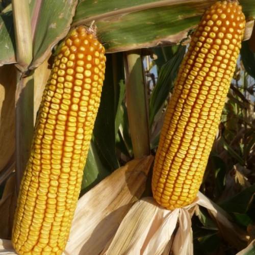 Семена кукурузы КАНЬОНС (KWS Germany) UNIQUEDENT
