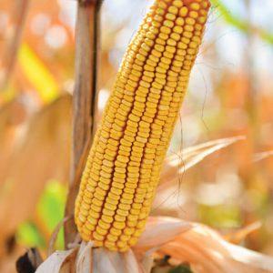 Семена кукурузы ДБ Хотин ( ФАО 280 )