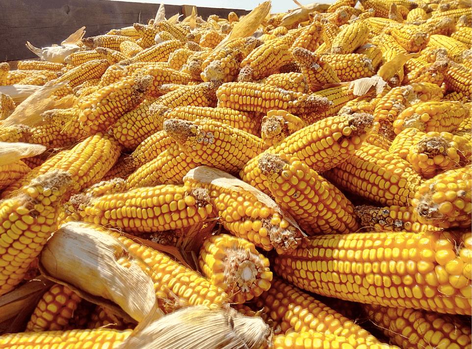 спелые початки кукурузы