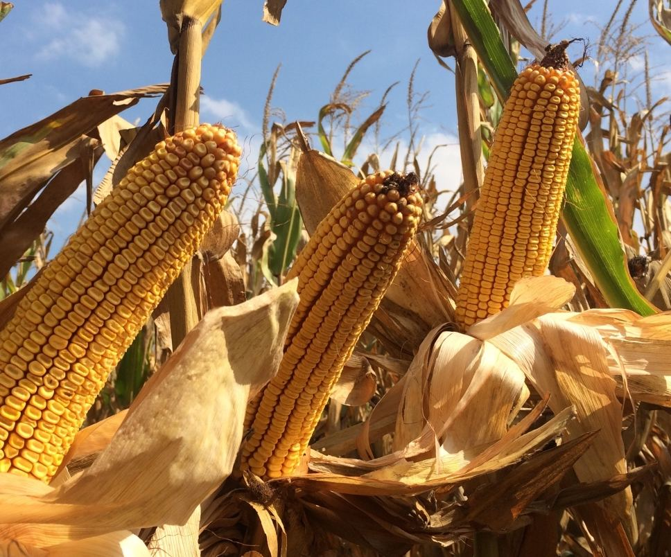 через сколько прорастают семена кукурузы