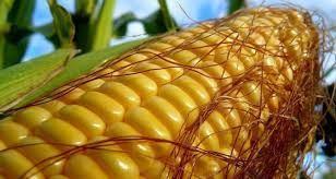 семя кукурузы
