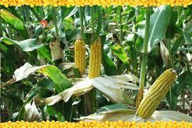 как сеять кукурузу