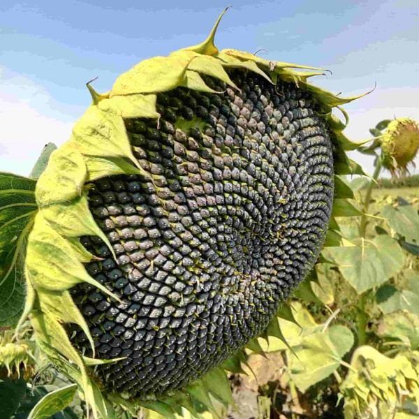 Семена подсолнечника Шаркс