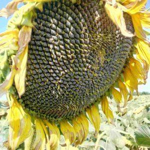 Семена подсолнечника Дюрбан
