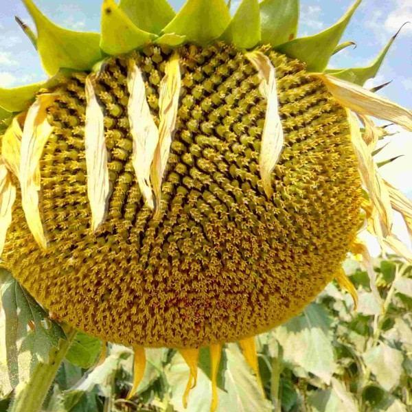 Семена подсолнечника Хайсан 158 ИТ (Евролайтинг)