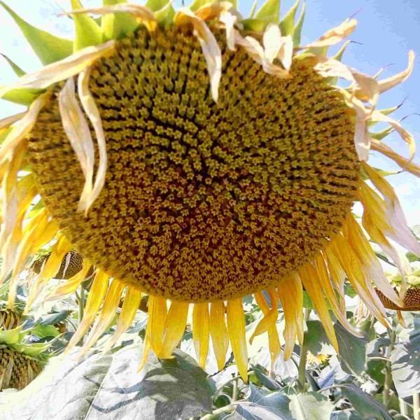 Семена подсолнечника  НС Авалон