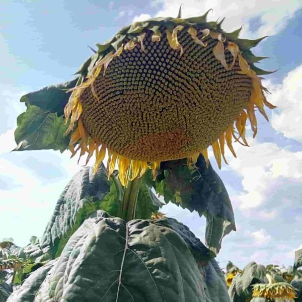 Семена подсолнечника       Хайсан 254