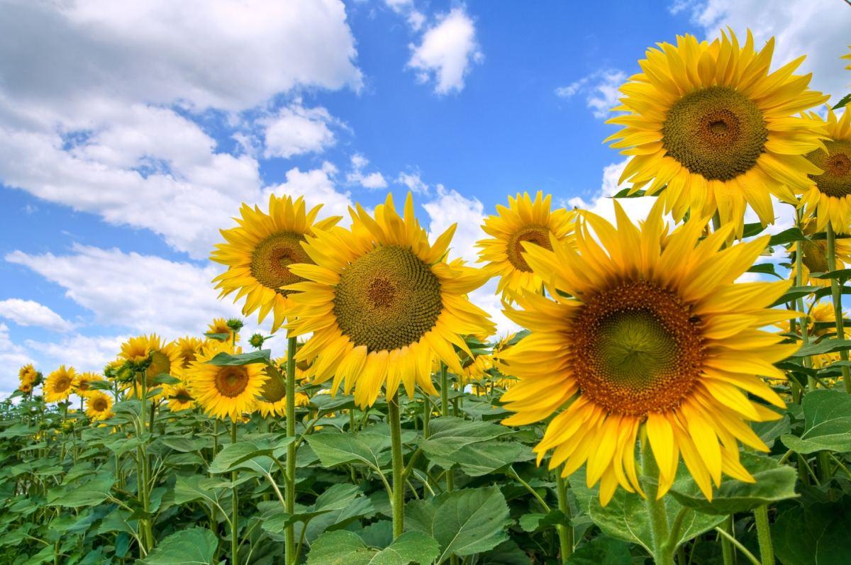 Технология выращивания подсолнечников