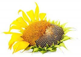 Нужны ли гербициды для подсолнечника