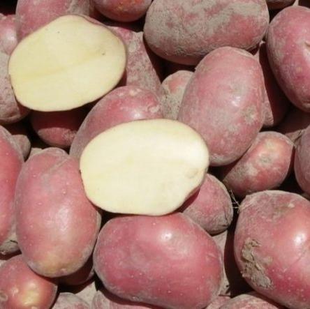 """Семенной картофель """"Сетанта"""" ( 1 репродукция)"""
