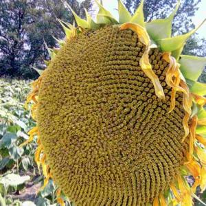 Семена подсолнечника Амато (Гранстар 50 гр.)