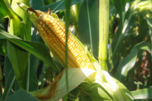 Урожайные гибриды кукурузы