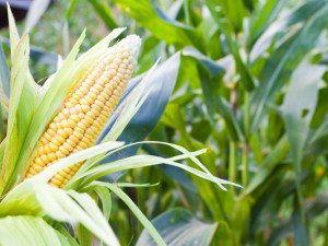 Потребность кукурузы в микроэлементах