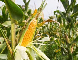 Выбор гибрида кукурузы для выращивания