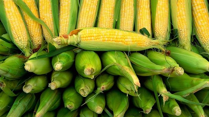 Урожайные гибриды кукурузы в Украине