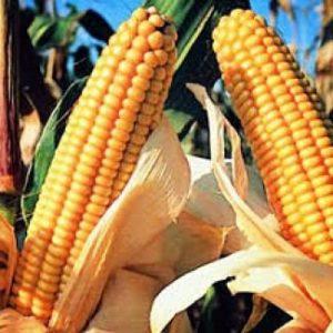 устойчивость гибридов кукурузы