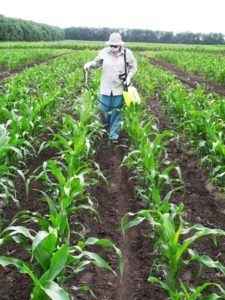 Как увеличить урожай кукурузы