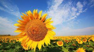 Врожай соняшника