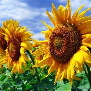 Ціна на насіння соняшника