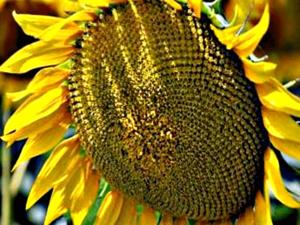Купити українські гібриди соняшника