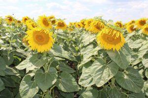 гібриди соняшника в Україні