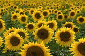 посівний соняшник в Україні