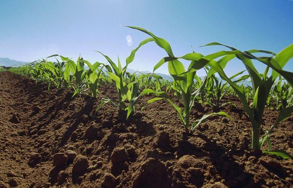 Как повысить урожайность кукурузы