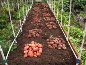 Технология выращивания раннего картофеля