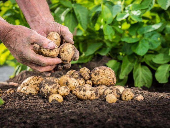 Выращивание семенного картофеля