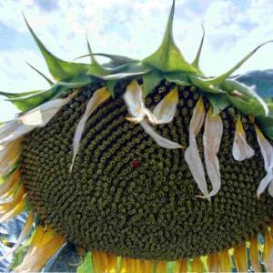 Семена подсолнечника Хайсан 162 ИТ (Евролайтинг)