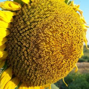 Семена подсолнечника НС Х 1752 (Гранстар до 50г)