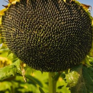 Семена подсолнечника НС Х 2652  (Гранстар до 50г)