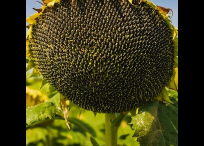 Насіння соняшнику НС Х 2652  (Гранстар до 50г)